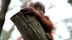 Orangutan Monkey, Looking, Jungle Trees, Palm Tree Stock Footage