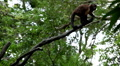 Monkey, Scratching, Running, Jungle Trees, Palm Tree HD Footage