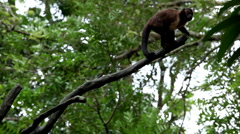 Monkey, Scratching, Running, Jungle Trees, Palm Tree Stock Footage