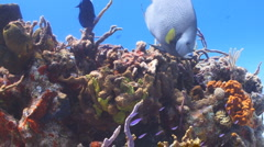 Gray Angelfish, diver and reef Stock Footage