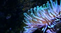 Green Bubble Tip Anemone 6623 Footage