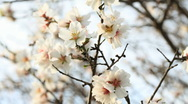 Almond flowers Stock Footage