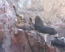 Ballestas islands, seals on rocks Stock Footage