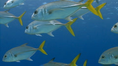 School of fish Horse-eye jacks Stock Footage