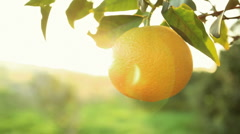 Orange fruit Stock Footage