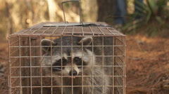 Raccoon Trapping Stock Footage