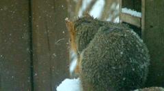Fox Squirrel  Stock Footage