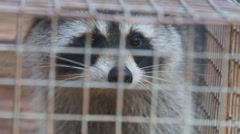 Raccoon Growling Stock Footage
