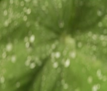 Water Drops on Leaf Stock Footage