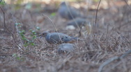 Mourning Dove Pair Stock Footage