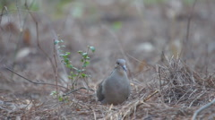 Mourning Dove Stock Footage