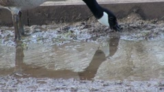 Canada Goose Feeding and Drinking Water from Puddle Stock Footage