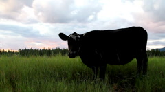 Cow in Montana grazing Stock Footage