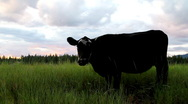 Stock Video Footage of Cow in Montana grazing