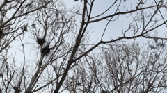crows in the trees - stock footage