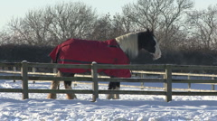 Shire horse stands at fence in snow. Stock Footage