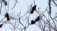Crows in the trees Stock Footage