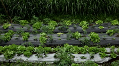 Green Salad Farm in Bali, Indonesia, Wet Season - stock footage