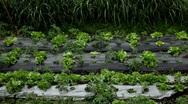 Green Salad Farm in Bali, Indonesia, Wet Season Stock Footage
