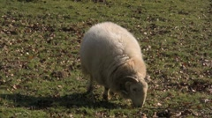 Sheep grazing on its own - stock footage