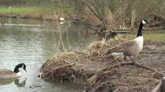 Canada Goose Walking Waters Edge - stock footage