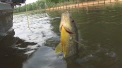 Freshwater Fishing Shellcracker Stock Footage