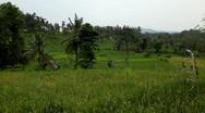Beautiful Terraced Rice Fields, Paddy Field, Palm Trees, Bali, Indonesia Stock Footage