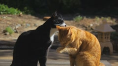 Two Cats licking each other  Stock Footage