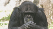 Stock Video Footage of Chimp Clip 2