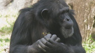 Stock Video Footage of Chimp Clip 1