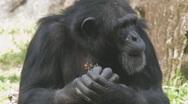 Chimp Clip 1 Stock Footage