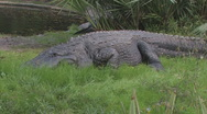Stock Video Footage of Alligator Clip 1