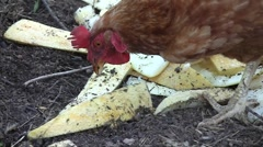 Hen (Gallus gallus domesticus) pecking melon seeds among rinds in the village Stock Footage