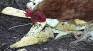 Stock Video Footage of Hen (Gallus gallus domesticus) pecking melon seeds among rinds in the village