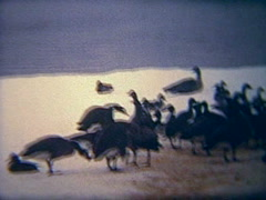 Vintage 8mm film, geese on frozen river Stock Footage