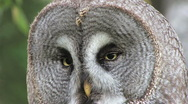 Stock Video Footage of Great Grey Owl