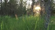 Slanting sunlight through grassy spruce forest Stock Footage