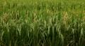 Beautiful Terraced Rice Fields, Paddy Field, Palm Trees, Bali, Indonesia Footage