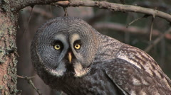 Great Grey Owl - stock footage