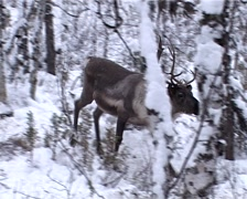 Deer in winter forest - stock footage