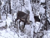 Stock Video Footage of Deer in winter forest