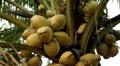 Beautiful Coconut Tree in Rice Field, Palm Trees, Bali, Indonesia Footage