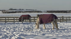 Two horses graze in snow covered paddocks. Stock Footage