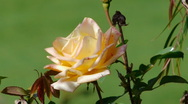 Stock Video Footage of White Speckled Rose Close Up