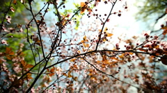 Blossoms - stock footage