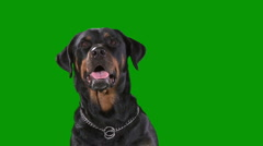 Rottweiler medium bark Stock Footage