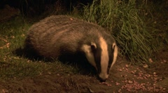 Badger - stock footage