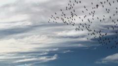 Bird Flock Swoop Stock Footage