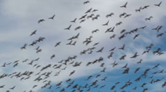 Sandhill Crane Flight Stock Footage