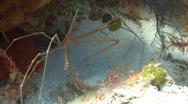 Arrowhead crab underwater Stock Footage